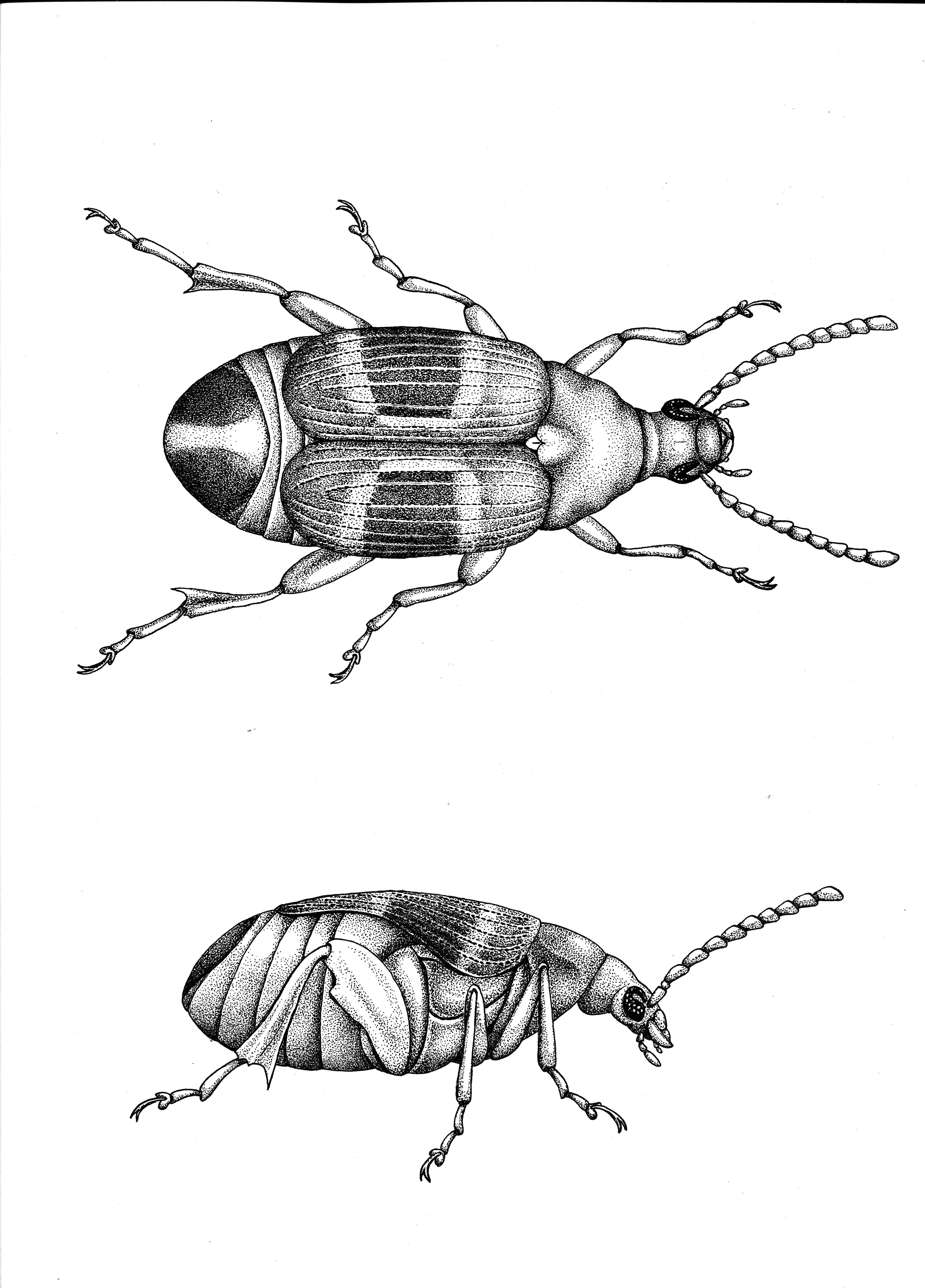 CmaculatusFinalFemale